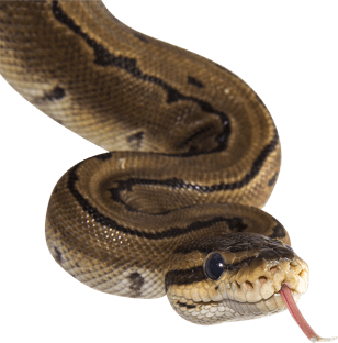 Snake with tongue sticking out